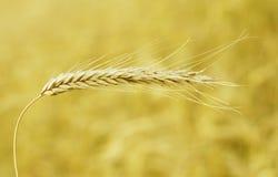 Rolnictwo, zboże plan i adra, Zdjęcia Stock