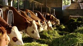Rolnictwo, ziemia uprawna, krowy zbiory