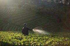 Rolnicy nawadnia truskawkowe jagody w ranku przy truskawką Zdjęcie Stock