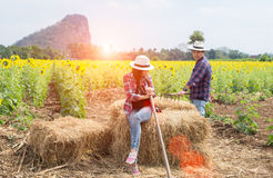 Rolnicy obsługują i kobiety pracuje w polu słoneczniki Zdjęcie Stock