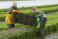 Rolnicy pracują przy ostrygi gospodarstwem rolnym przy niskim przypływem w Maisy, Francja Zdjęcie Royalty Free