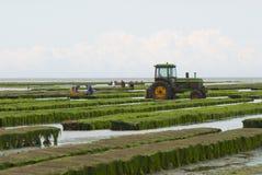 Rolnicy pracują przy ostrygi gospodarstwem rolnym przy niskim przypływem w Maisy, Francja Zdjęcia Stock