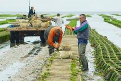 Rolnicy pracują przy ostrygi gospodarstwem rolnym przy niskim przypływem w Maisy, Francja Zdjęcie Stock