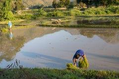 Rolnicy przy pracą w ryżu polu, Mae Hong syn Tajlandia 20 01 201 Zdjęcia Royalty Free