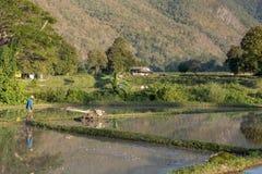 Rolnicy przy pracą w ryżu polu, Mae Hong syn Tajlandia 20 01 201 Obrazy Royalty Free
