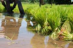 Rolnicy są narastającym ryżowym drzewem Zdjęcia Stock
