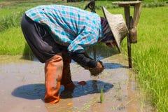 Rolnicy są narastającym ryżowym drzewem Zdjęcie Stock
