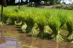 Rolnicy są narastającym ryżowym drzewem Fotografia Stock