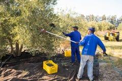 Rolnicy używa oliwnego zrywania narzędzie podczas gdy zbierający Obrazy Royalty Free