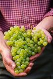 Rolnicy wręczają z gronem biali winogrona Zdjęcie Royalty Free