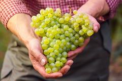 Rolnicy wręczają z gronem biali winogrona Obraz Royalty Free