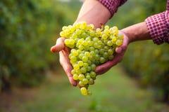 Rolnicy wręczają z gronem biali winogrona Obrazy Royalty Free