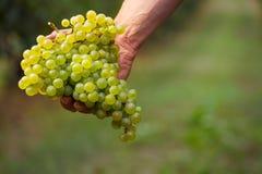Rolnicy wręczają z gronem biali winogrona Fotografia Royalty Free