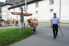 Rolnicy z stadem krowy na rocznym transhumance na st Zdjęcia Royalty Free