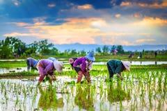 Rolnicy zasadzają ryż w gospodarstwie rolnym. fotografia royalty free