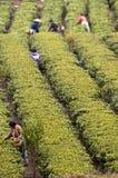 Rolnicy zbiera świeżych herbacianych liście w polu obraz stock