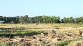 Rolnicy zbiera ryż w polu, Tajlandia zbiory wideo