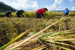 Rolnicy zbierają ich uprawy ostro podczas żniwo sezonu wewnątrz zdjęcie stock