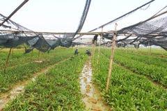 Rolnicy zbierają aromatycznych warzywa Obraz Royalty Free