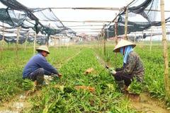 Rolnicy zbierają aromatycznych warzywa Fotografia Stock