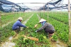 Rolnicy zbierają aromatycznych warzywa Obraz Stock