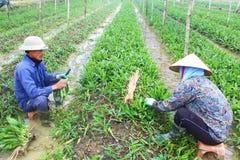 Rolnicy zbierają aromatycznych warzywa Zdjęcie Stock