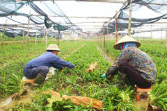 Rolnicy zbierają aromatycznych warzywa Obrazy Stock