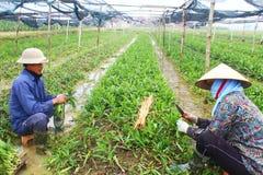 Rolnicy zbierają aromatycznych warzywa Zdjęcie Royalty Free