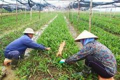 Rolnicy zbierają aromatycznych warzywa Zdjęcia Royalty Free