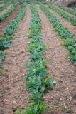 Rolnicza kapusta zasadza Malta Gozo zdjęcie stock