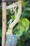 Rolnicza kopulizacja cytrusów owocowi drzewa Obrazy Stock