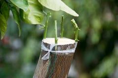 Rolnicza kopulizacja cytrusów owocowi drzewa Obraz Royalty Free