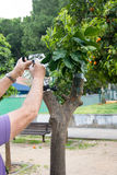 Rolnicza kopulizacja cytrusów owocowi drzewa Zdjęcie Royalty Free