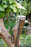 Rolnicza kopulizacja cytrusów owocowi drzewa Fotografia Royalty Free