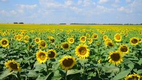 Rolnicza kultywacja s?onecznik w polu Rosja zdjęcie wideo