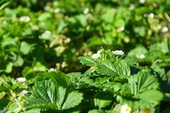 Rolnicza roślina w polu Młodzi saplings truskawki z kwiatami zdjęcia royalty free