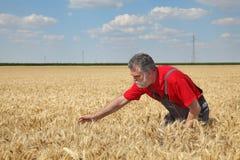 Rolnicza scena, rolnik lub agronom egzamininuje pszenicznego pole, Zdjęcia Stock