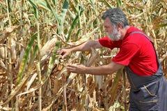 Rolnicza scena, rolnik lub agronom, sprawdzamy uszkadzającej kukurudzy fi Fotografia Royalty Free