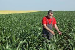 Rolnicza scena, rolnik w kukurydzanym polu Zdjęcie Royalty Free