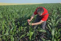 Rolnicza scena, rolnik w kukurydzanym polu Fotografia Royalty Free