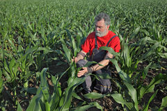 Rolnicza scena, rolnik w kukurydzanym polu Obraz Stock