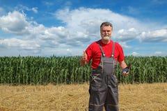 Rolnicza scena, rolnik w pszenicznym i kukurydzanym polu Zdjęcie Stock