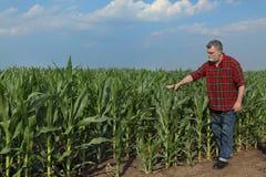 Rolnicza scena, rolnik w zielonym kukurydzanym polu Zdjęcie Royalty Free