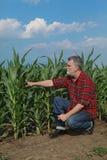 Rolnicza scena, rolnik w zielonym kukurydzanym polu Obraz Stock