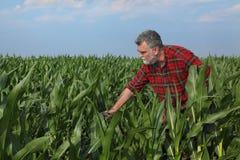 Rolnicza scena, rolnik w zielonym kukurydzanym polu Obrazy Stock