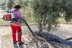 Rolnicze kobiety podczas oliwnej kompilacyjnej kampanii Zdjęcie Royalty Free