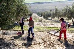 Rolnicze kobiety podczas oliwnej kompilacyjnej kampanii Obraz Royalty Free