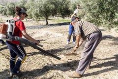 Rolnicze kobiety podczas oliwnej kompilacyjnej kampanii Zdjęcia Stock