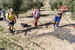 Rolnicze kobiety podczas oliwnej kompilacyjnej kampanii, szkło Fotografia Royalty Free