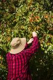 Rolniczego pracownika Średniorolny mężczyzna Podnosi Crabapple drzewa Zdjęcia Stock